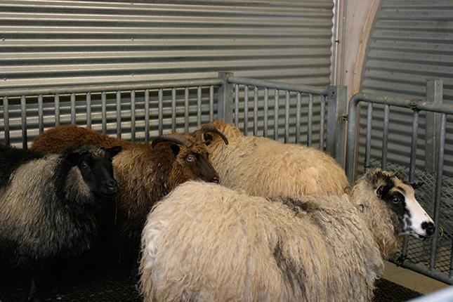目がこわい羊